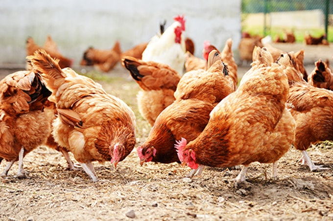 Improved returns expected for poultry farmers in 2020