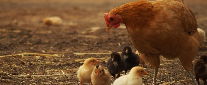 Energy in Poultry
