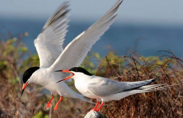 Roseate Tern Project