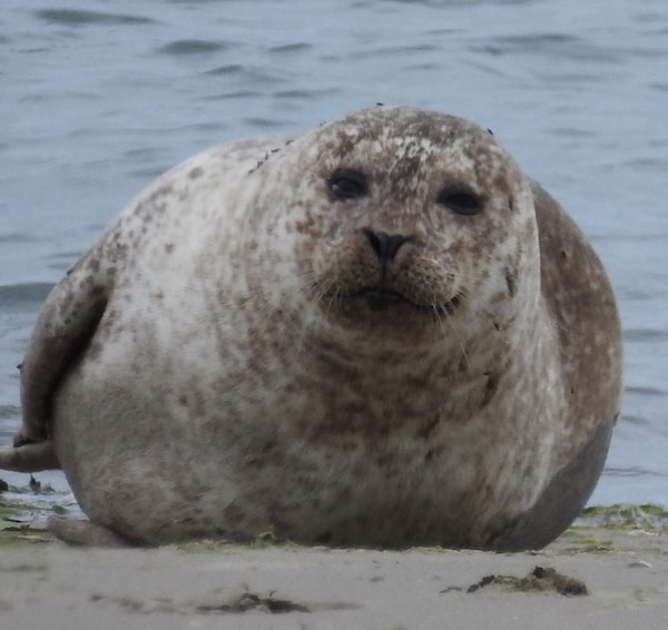 North Bull Island Seal Survey