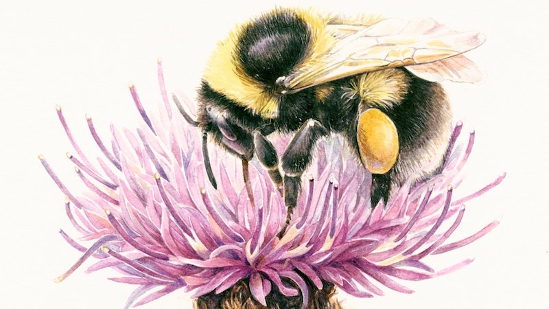 Identification of Bumblebees