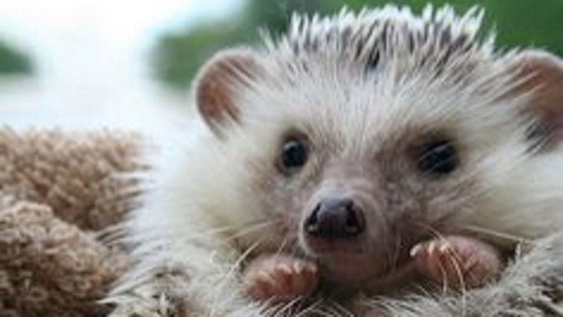 Hedgehogs and Other Mammals
